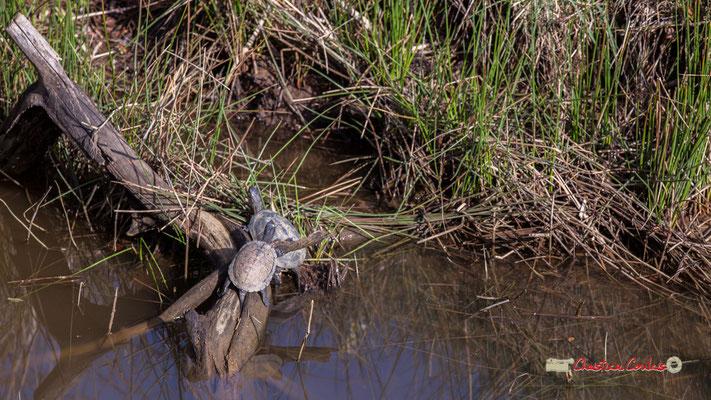 Deux Cistudes d'Europe, réserve ornithologique du Teich. Samedi 16 mars 2019