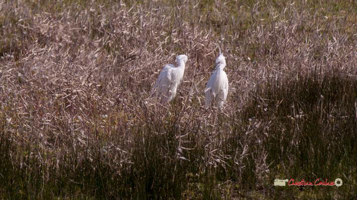 Aigrettes gazettes. Réserve ornithologique du Teich. Samedi 16 mars 2019. Photographie © Christian Coulais