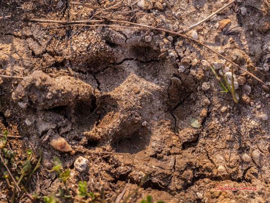 Empreinte de renard, 4 pelotes digitales avec griffes, plus de 4 cm de long, empreinte ovale ; Haut-Brignon, Cénac. Samedi 16 mai 2020. Photographie : Christian Coulais