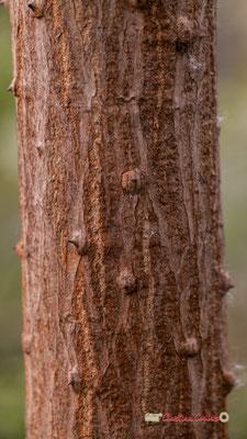 Afrique du Sud. Genre : Erythrina; Espèce : Lysistemon; Famille : Fabaceae; Ordre : Fabales. Serre tropicale du Bourgailh, Pessac. 27 mai 2019