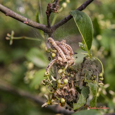 Groupe de chenilles dévorant les feuilles d'un fusain d'Europe (Euonymus europaeus), Cénac. Samedi 19 avril 2020. Photographie : Christian Coulais