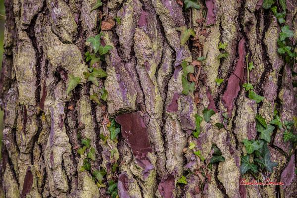 Ecorce de pin maritime (pin des Landes, pin de Bordeaux, Pinus pinaster). Forêt de Migelan, espace naturel sensible, Martillac / Saucats / la Brède. Samedi 23 mai 2020. Photographie : Christian Coulais