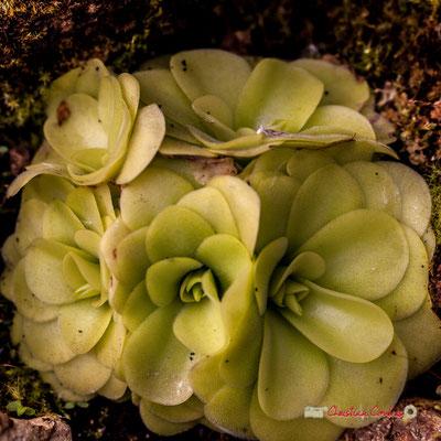 Grassette à fleurs violettes. Mexique. Genre : Pingicula; Espèce : Agnata; Famille : Lentibulariaceae; Ordre : Lamiales. Serre tropicale du Bourgailh, Pessac. 27 mai 2019