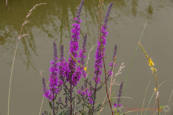 Végétation entre marais doux et marais salés, circuit N°27, Pays de Saint-Gilles-Croix-de-Vie, Vendée, Pays de la Loire