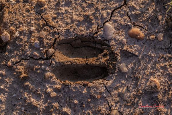 Empreinte de chevreuil, 2 doigts au bord arrondi, 6 cm de long max. ; Haut-Brignon, Cénac. Samedi 16 mai 2020. Photographie : Christian Coulais
