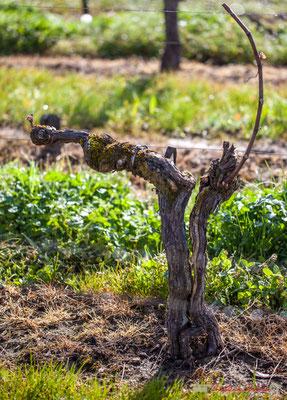 """""""Cep fendu 3"""". Vitis vinifera Land Art"""