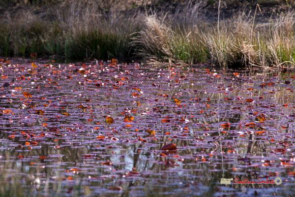 Feuilles mortes sur marais, réserve ornithologique du Teich. Samedi 16 mars 2019. Photographie © Christian Coulais