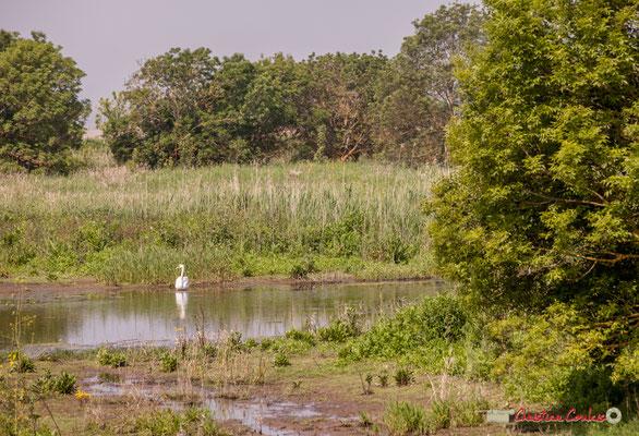 Cygne blanc. Parcours de découverte de la roselière de l'Île Nouvelle, Gironde. 06/05/2018