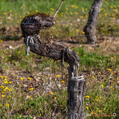 """""""L'éclopé"""". Vitis vinifera Land Art"""