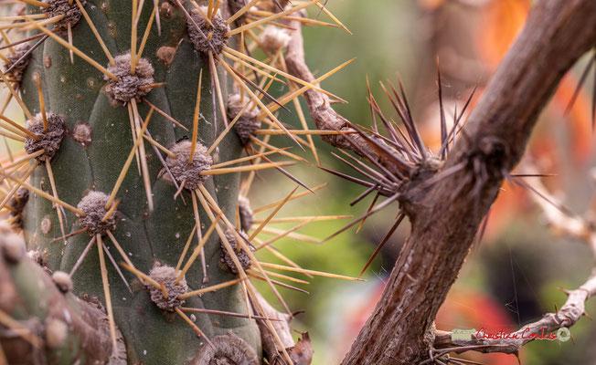 Genre : Cylindropuntia; Espèce : Californica; Famille : Cactaceae; Ordre : Caryophyllales. Serre tropicale du Bourgailh, Pessac. 27 mai 2019