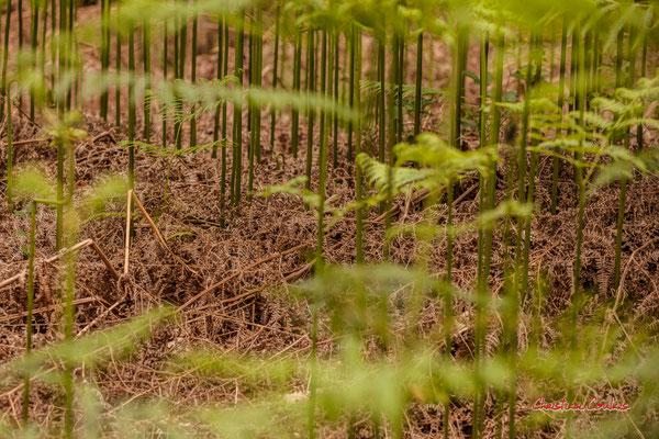2/3 Fougères. Forêt de Migelan, espace naturel sensible, Martillac / Saucats / la Brède. Samedi 23 mai 2020. Photographie : Christian Coulais