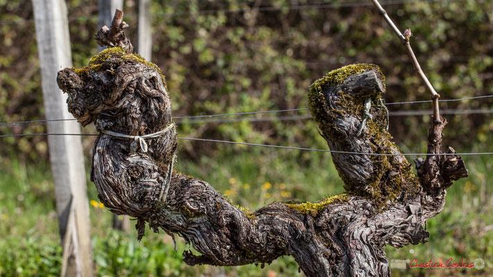 """Le fauve"". Vitis vinifera Land Art"
