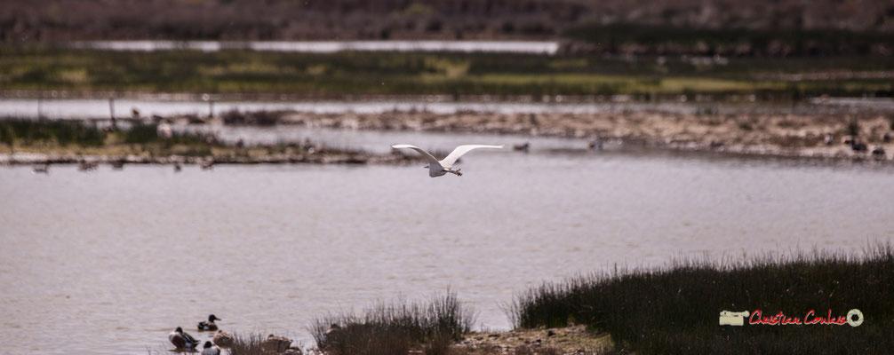 Vol d'aigrette II. Réserve ornithologique du Teich. Samedi 16 mars 2019. Photographie © Christian Coulais