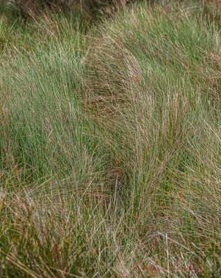 Au gré du vent Mistral, la touffe d'herbes s'ébroue. Réserve naturelle régionale de Scamandre, Vauvert