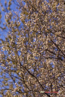 Saule en fleurs, réserve ornithologique du Teich. Samedi 16 mars 2019