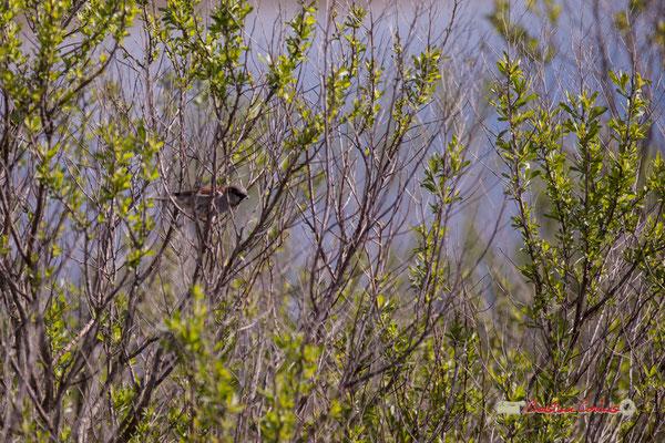 Moineau dans Baccharis halimifolia, arbuste envahissant.Réserve ornithologique du Teich. Samedi 16 mars 2019