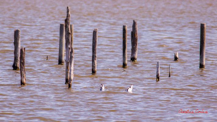 Plongeon d'avocettes élégantes. Réserve ornithologique du Teich. Samedi 3 avril 2021. Photographie © Christian Coulais