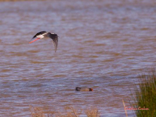 Vol d'échasses blanches, réserve ornithologique du Teich. Samedi 3 avril 2021. Photographie © Christian Coulais