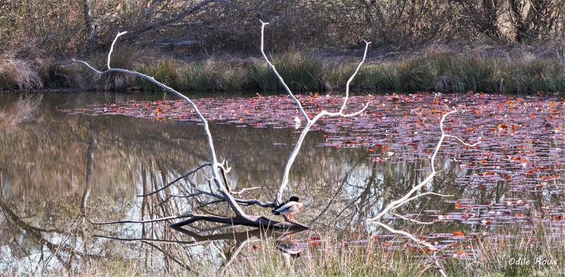 Canrd colvert. Réserve ornithologique du Teich. Photographie Odile Roux. Samedi 16 mars 2019