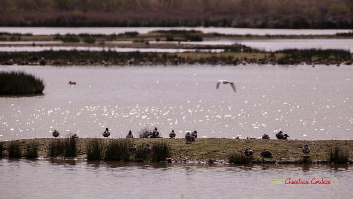 Vol d'aigrette VI. Réserve ornithologique du Teich. Samedi 16 mars 2019. Photographie © Christian Coulais