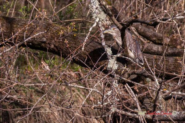 Bihoreau gris, réserve ornithologique du Teich. Samedi 16 mars 2019