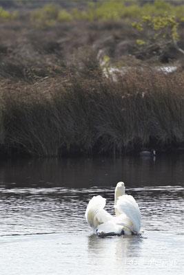 Cygne tuberculé ou muet. Réserve ornithologique du Teich. Photographie Gaël Moignot. Samedi 16 mars 2019