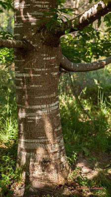 1/3 Tronc et écorce de chêne rouge d'Amérique (Quercus rubra). Forêt de Migelan, espace naturel sensible, Martillac / Saucats / la Brède. Vendredi 22 mai 2020. Photographie : Christian Coulais