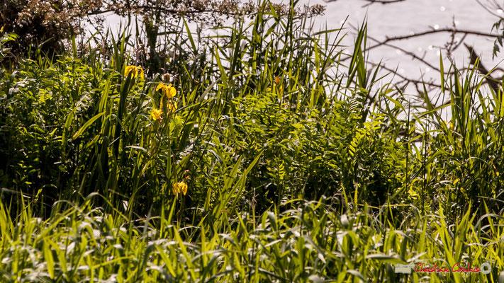 Iris des marais, Iris Pseudacorus. Parcours de découverte de la roselière de l'Île Nouvelle, Gironde. 06/05/2018