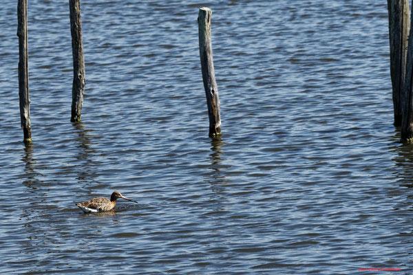 Barge à queue noire. Réserve ornithologique du Teich. Photographie Jean-Pierre Couthouis. Samedi 3 avril 2021