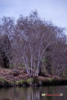Cépée de bouleaux. Réserve ornithologique du Teich, samedi 16 mars 2019. Photographie © Christian Coulais