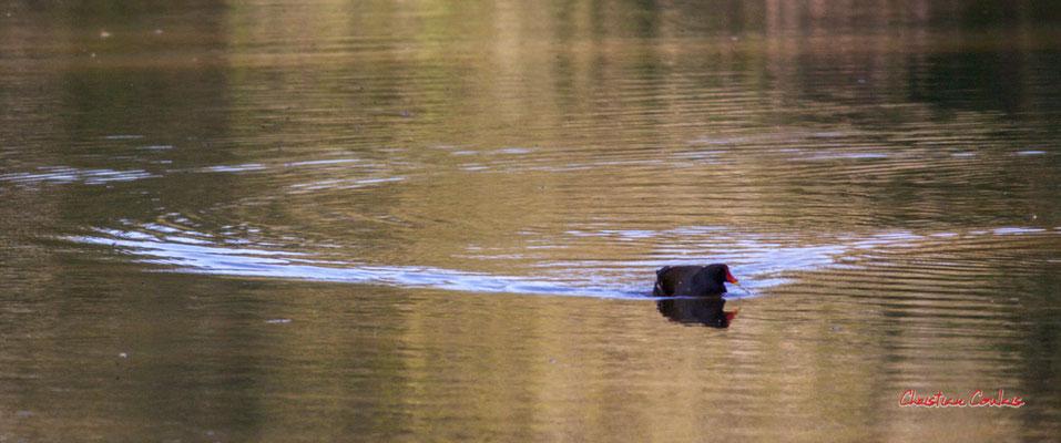 Gallinule poule d'eau, réserve ornithologique du Teich. Samedi 3 avril 2021. Photographie © Christian Coulais
