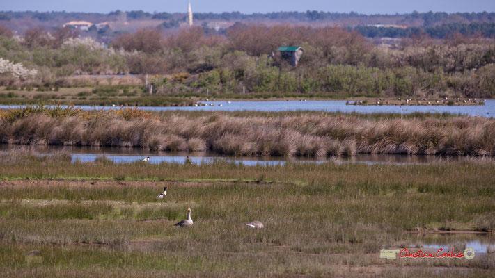 Deux oies et un tadorne de Belon. Réserve ornithologique du Teich. Samedi 16 mars 2019. Photographie © Christian Coulais