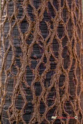 Arbre bouteille, Australie. Genre : Brachychiton; Espèce : Rupestris; Famille : Sterculiaceae; Ordre : Malvales. Serre tropicale du Bourgailh, Pessac. 27 mai 2019