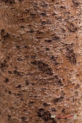 Asie tropicale. Genre : Acrocarpus; Espèce : Fraxinifolius; Famille : Fabaceae; Ordre : Fabales. Serre tropicale du Bourgailh, Pessac. 27 mai 2019