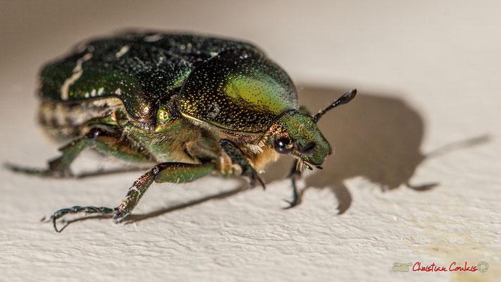 3/4 Cétoine dorée en mouvement, ou « Hanneton des roses » est un insecte coléoptère de la famille des Cetoniidae. Photographie Christian Coulais