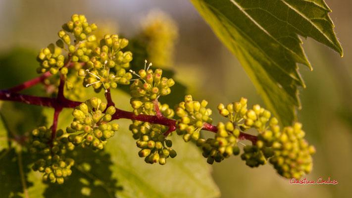 Inflorescence de vigne. Haut-Brignon, Cénac. Samedi 16 mai 2020. Photographie : Christian Coulais