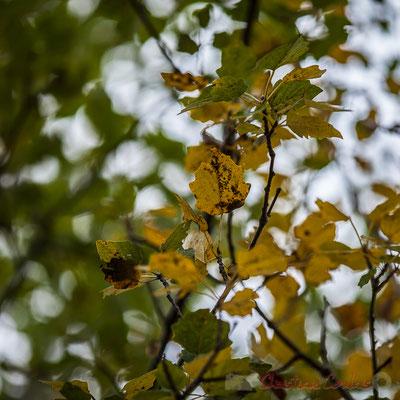 Feuilles d'automne du bouleau (bétula). Réserve naturelle régionale de Scamandre, Vauvert