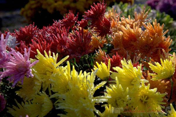 Chrysanthèmes, Cimetière Mandin, Cénac, Gironde