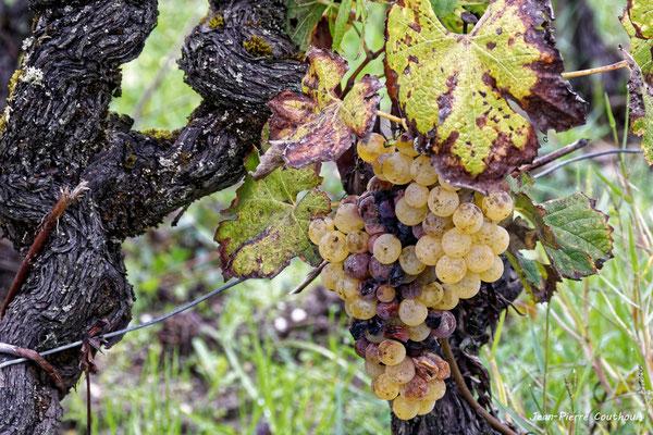 Grappe avec quelques grains botrytisés. Vignoble du Sauternais, Château d'Yquem, Sauternes. Samedi 10 octobre 2020. Photographie © Jean-Pierre Couthouis