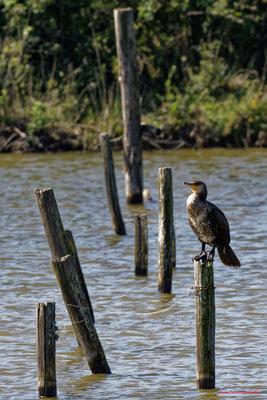 Cormoran. Réserve ornithologique du Teich. Photographie Jean-Pierre Couthouis. Samedi 3 avril 2021