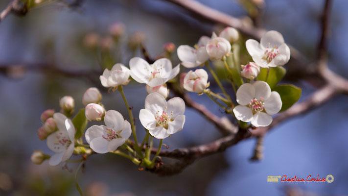 Fleurs de fruitier. Réserve ornithologique du Teich. Samedi 16 mars 2019
