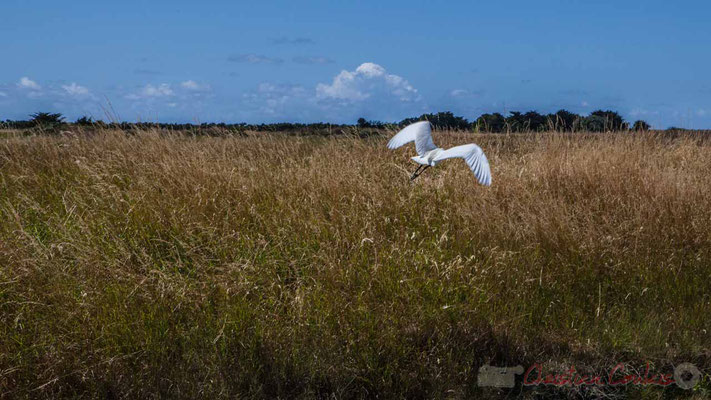 Envol d'une aigrette garzette dans les marais salants de l'Île de Noirmoutier entre l'Epine et Noimoutier en l'Île, Vendée, Pays de la Loire