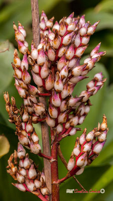 """Blue Rain"" Genre : Aechmea ; Famille : Bromeliaceae; Ordre : Bromeliales. Serre tropicale du Bourgailh, Pessac. 27 mai 2019"