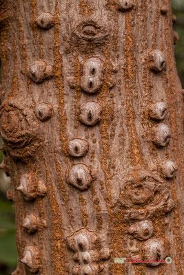 Afrique du sud. Genre : Erythrina; Espèce : Caffra; Famille : Fabaceae; Ordre : Fabales. Serre tropicale du Bourgailh, Pessac. 27 mai 2019