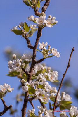 Fruitier en fleur, réserve ornithologique du Teich. Samedi 16 mars 2019