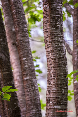 """2/2 """"Morse"""" Forêt de Migelan, espace naturel sensible, Martillac / Saucats / la Brède. Samedi 23 mai 2020. Photographie : Christian Coulais"""