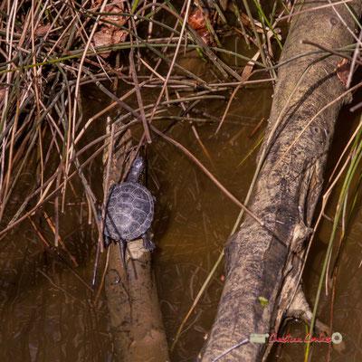 Une petite Cistude d'Europe, réserve ornithologique du Teich. Samedi 16 mars 2019