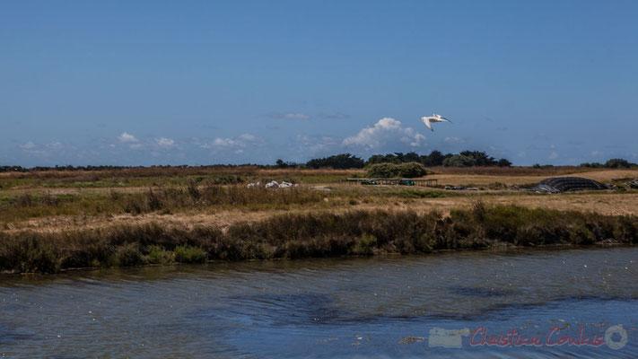 Pêche d'une mouette rieuse dans un œillet du marais salants de l'Île de Noirmoutier entre l'Epine et Noimoutier en l'Île, Vendée, Pays de la Loire