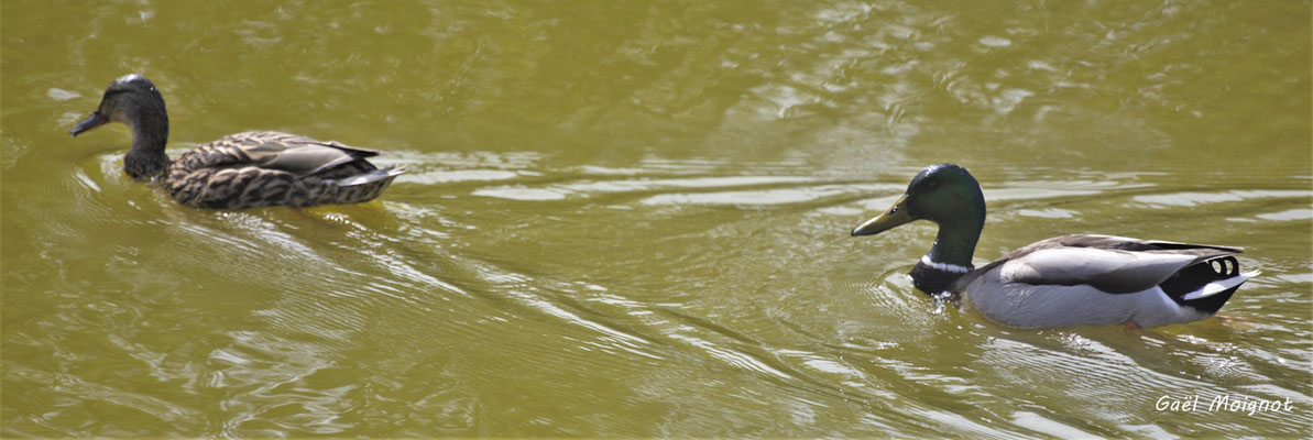 Canard colvert. Réserve ornithologique du Teich. Photographie Gaël Moignot. Samedi 16 mars 2019