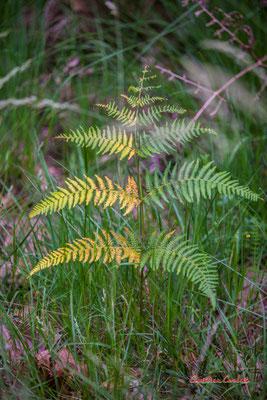 Fougère bicolore (?). Forêt de Migelan, espace naturel sensible, Martillac / Saucats / la Brède. Samedi 23 mai 2020. Photographie : Christian Coulais